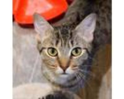 Adopt Charlotte a Brown or Chocolate Domestic Shorthair / Mixed cat in Cumming