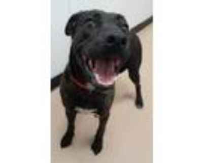 Adopt Peanuts a Pit Bull Terrier, Mixed Breed