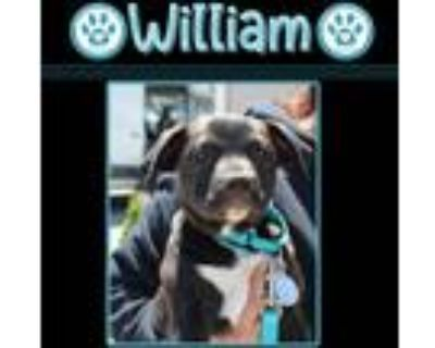 Adopt William(Di's boys) 5/1/21 a Black - with White American Pit Bull Terrier /