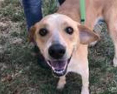 Adopt Wiley a Labrador Retriever / Mixed dog in Golden, CO (31963856)