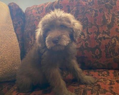 Irish Mini Whoodle Puppy HYBRID