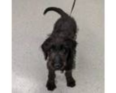 Adopt Kenny a Black Irish Wolfhound / Mixed dog in Indianapolis, IN (31426514)