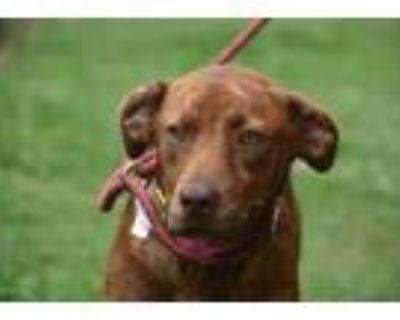 Adopt Hazel a Brindle Plott Hound / Mixed dog in Gainesville, GA (31848444)