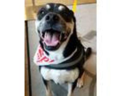 Adopt Dexter a Black - with Brown, Red, Golden, Orange or Chestnut Rottweiler /