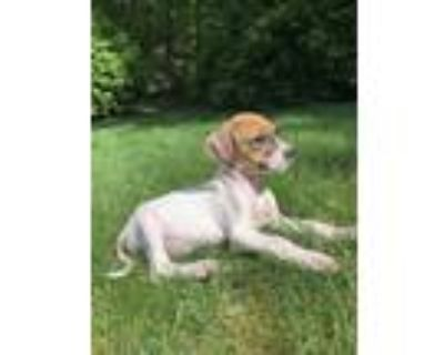 Adopt Oakley a White Boxer / Hound (Unknown Type) / Mixed dog in Cashiers