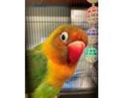 Adopt UNK a Green Lovebird / Mixed bird in Rancho Cucamonga, CA (32066708)