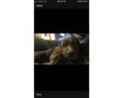 Adopt Bless a Brindle Rottweiler / American Pit Bull Terrier dog in Security