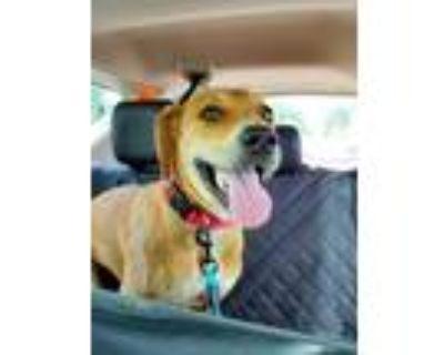Adopt Archie a Hound, Labrador Retriever
