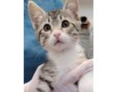 Adopt 654967 a Tan or Fawn Domestic Shorthair / Domestic Shorthair / Mixed cat