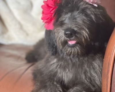 FRENCH Whoodle Puppy FRIDA