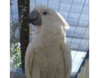Adopt Cosmo a Cockatoo