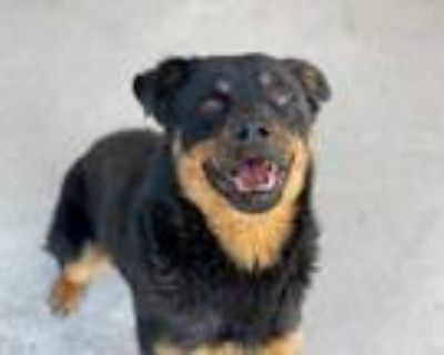 Adopt XYLON a Black - with Tan, Yellow or Fawn Rottweiler / Mixed dog in
