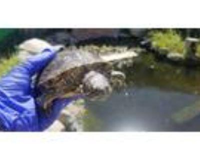 Adopt A092810 a Turtle