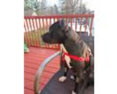 Adopt Diamond a Black - with White American Pit Bull Terrier / American