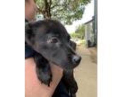 Adopt 48292584 a Black Labrador Retriever / Mixed dog in Fort Worth