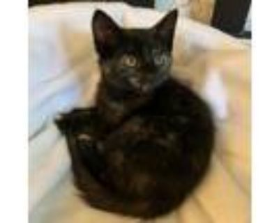 Adopt Sammie a Domestic Shorthair / Mixed cat in Potomac, MD (31620899)