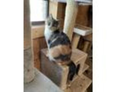 Adopt Paige a Calico or Dilute Calico Calico / Mixed (short coat) cat in