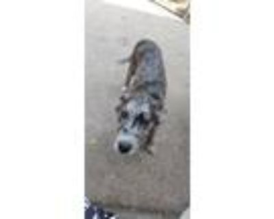 Adopt Lilac a Gray/Silver/Salt & Pepper - with Black Catahoula Leopard Dog dog