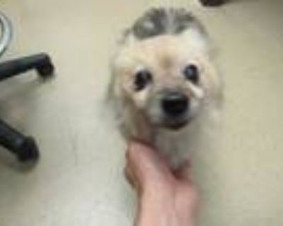 Adopt *RIDDIE a Tan/Yellow/Fawn Pomeranian / Mixed dog in Derwood, MD (31999527)