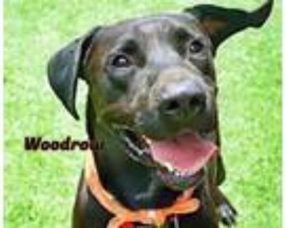 Adopt Woodrow a Great Dane, Labrador Retriever