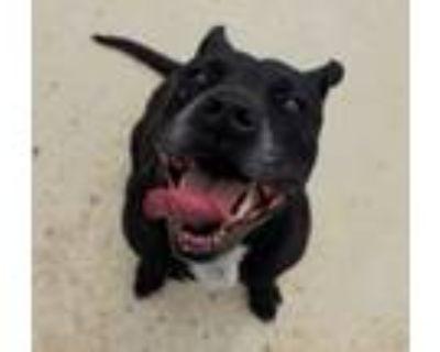Adopt Ebony Anne a American Staffordshire Terrier