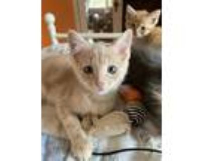 Adopt Victor a Tan or Fawn Domestic Shorthair / Domestic Shorthair / Mixed cat