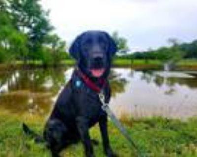 Adopt Callie a Labrador Retriever