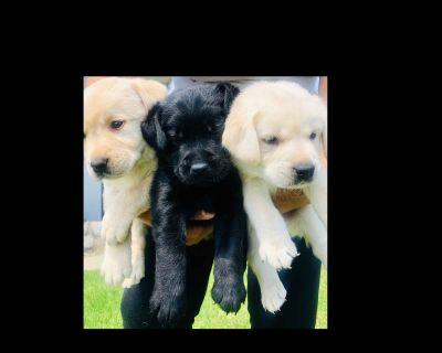 Labrador Retriever Puppies