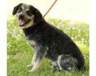 Adopt Petey a Australian Cattle Dog / Blue Heeler, German Shepherd Dog