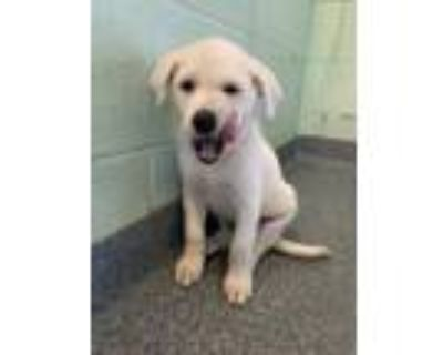 Adopt Audrey a Tan/Yellow/Fawn Great Pyrenees / Shepherd (Unknown Type) / Mixed