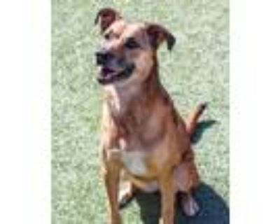 Adopt Athena 2 a Brown/Chocolate - with Black Shepherd (Unknown Type) /