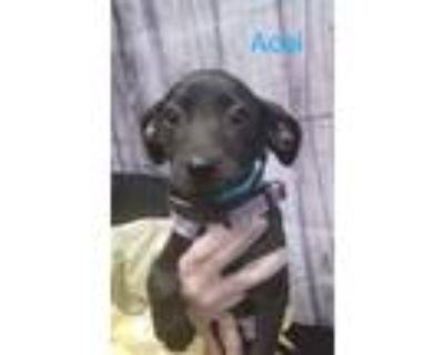 Adopt A ai a Black Labrador Retriever dog in Merrifield, VA (31562486)