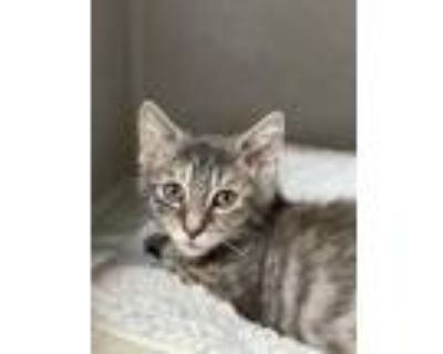 Adopt Pastry a Gray or Blue Domestic Shorthair / Domestic Shorthair / Mixed cat