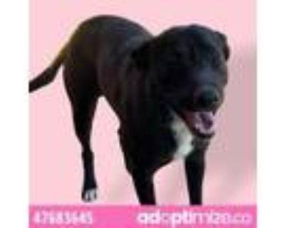 Adopt 47683645 a Black Labrador Retriever / Mixed dog in El Paso, TX (32011372)