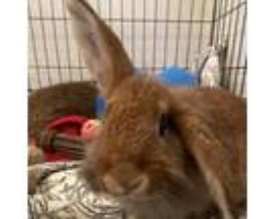 Adopt Zoey a Lop, Holland / Mixed rabbit in Chesapeake, VA (31949021)