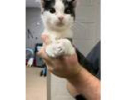 Adopt Heather* a All Black Domestic Shorthair / Domestic Shorthair / Mixed cat