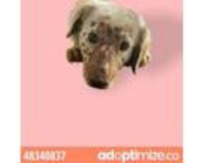 Adopt 48340837 a Australian Cattle Dog / Blue Heeler, Mixed Breed