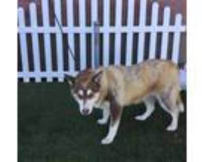 Adopt *VERONICA a Red/Golden/Orange/Chestnut - with White Husky / Mixed dog in