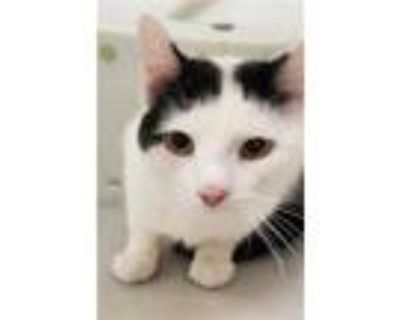 Adopt CHEEKS a White Domestic Shorthair / Mixed (short coat) cat in