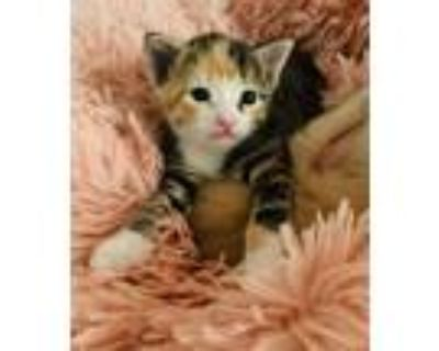 Adopt Daphne a Calico, Domestic Short Hair