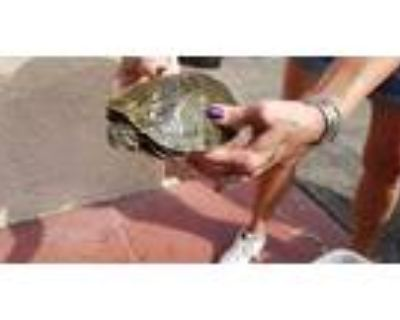 Adopt MARIAH a Turtle - Other / Mixed reptile, amphibian
