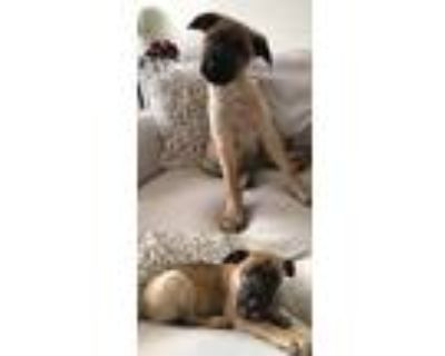 Adopt City Monte a Shepherd (Unknown Type) / Mixed dog in Chantilly