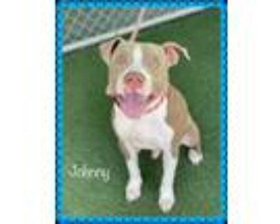 Adopt JOHNNY (see also FRANKIE) a Tan/Yellow/Fawn - with White Pit Bull Terrier