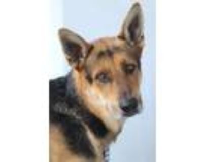 Adopt Rigby von Rathenow a Black - with Tan, Yellow or Fawn German Shepherd Dog
