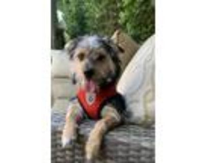 Adopt Oliver a Black - with Tan, Yellow or Fawn Dachshund / Schnauzer