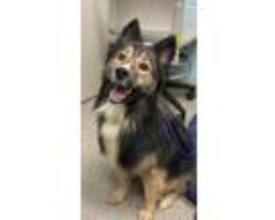 Adopt Denver a Brown/Chocolate Husky / Collie / Mixed dog in Noblesville