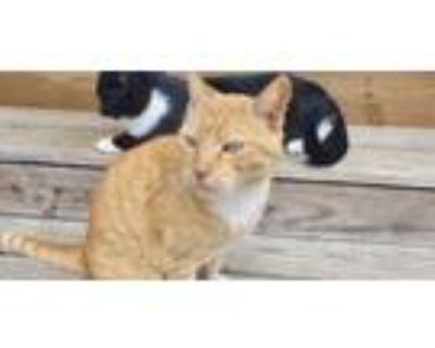 Adopt Benny a Orange or Red Tabby American Shorthair cat in Mechanicsville