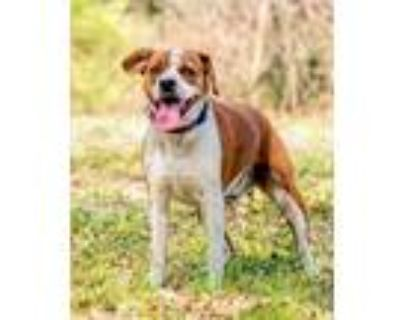 Adopt RUSTY a Tan/Yellow/Fawn - with White Beagle / Mixed dog in Norfolk