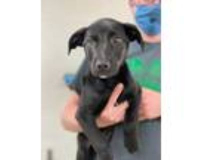 Adopt 48052100 a Black Retriever (Unknown Type) / Mixed dog in Fort Worth