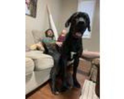 Adopt Rocco a Black Great Dane / Mastiff / Mixed dog in Sherwood, AR (32093830)